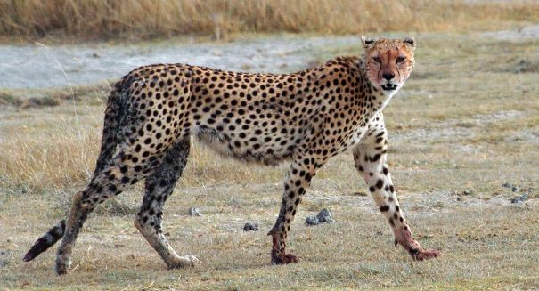 Cheetahs are in huge trouble