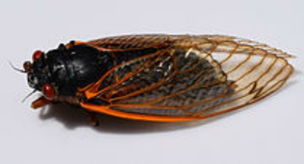 Warning: Billions of cicadas are coming