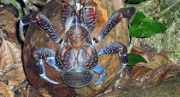 Scientists astonished by a massive crab