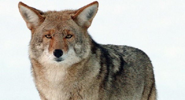 Coyote attack on 9 year old girl in Davie County