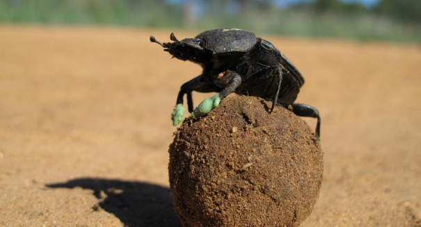 Stunning discovery about this dung beetle dance amazes scientists [VIDEO]