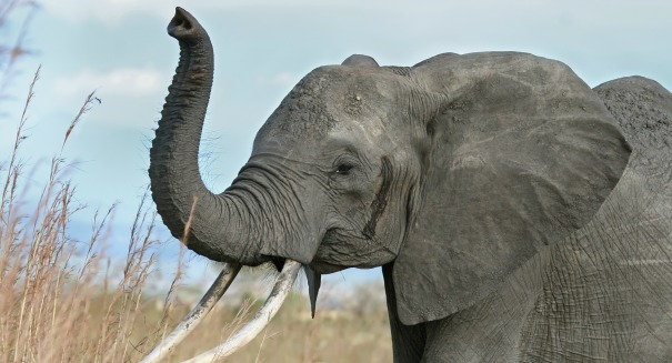 Elephants are in big, big trouble