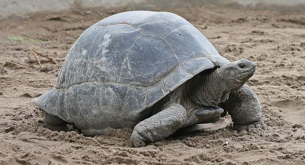 Genetic Analysis Finds Second Species of Giant Tortoise