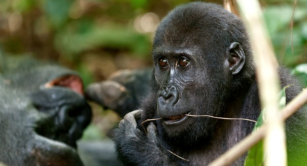 Scientists excited over findings in gorilla genome research