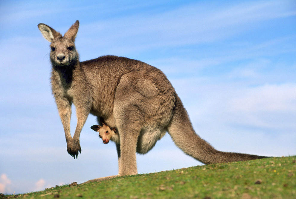 Kangaroo escapes in New York City