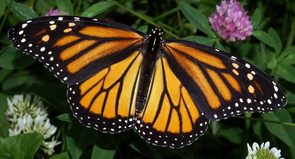 The Monarch Butterfly is in trouble