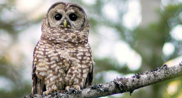 Biologists are killing 'bully owls' in order to protect endangered owls