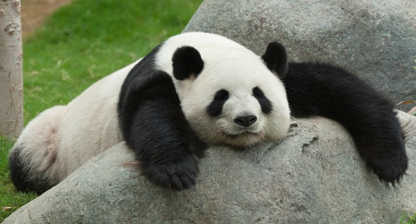 Why are Giant Pandas so darn lazy? The answer might surprise you