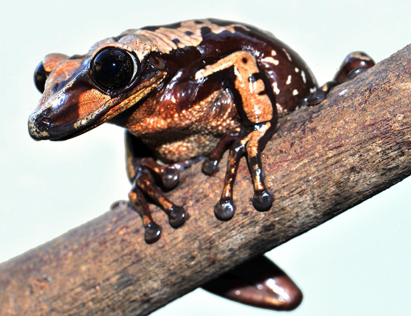 A discovered species of poisonous frogs shoots deadly venom from heads