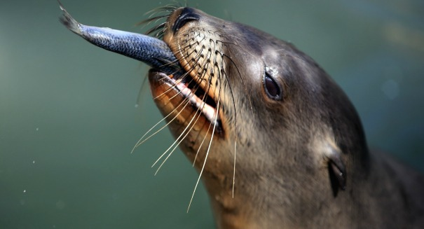 Huge crisis in California: Sea Lions are getting Alzheimer's?