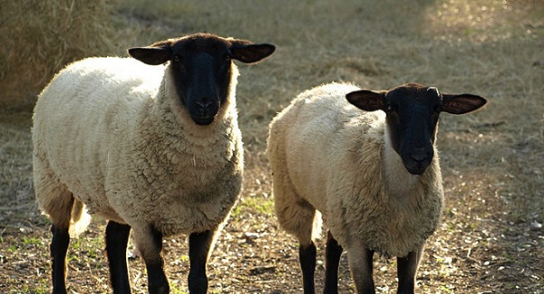 Researchers hope sheep-human hybrids could be used for organ transplants