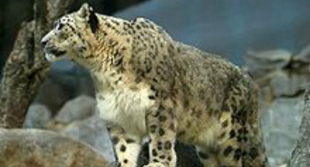 Scientists dismayed by awful snow leopard discovery