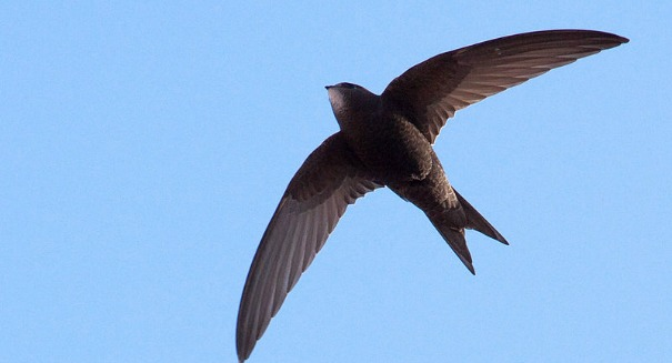 Scientists astonished by discovery about one incredible bird; here's 4 more amazing facts about the common swift