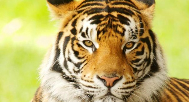 Scientists stunned by report on Tigers