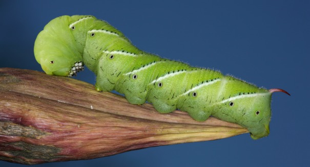 A fat, green caterpillar just helped scientists big time