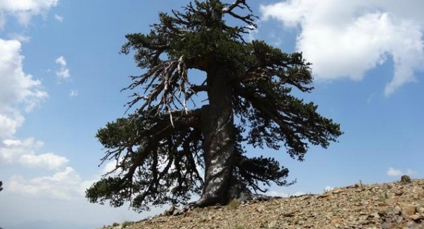 This is the oldest living thing in Europe