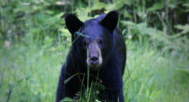 First bear hunt in 20 years approved