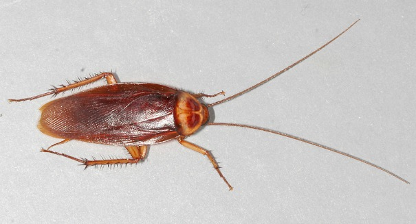 American cockroach has bite 50 times stronger than a human's