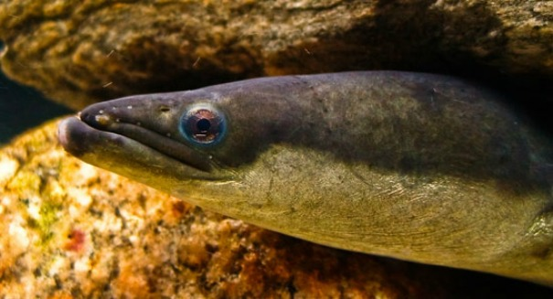 Electric eels leap out of water in shocking footage [VIDEO]