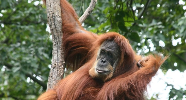 Scientists stunned to find a huge amount of Sumatran orangutans