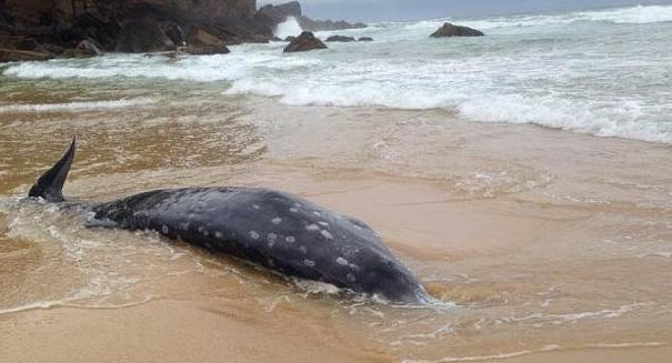 Heartbreaking: Huge number of whales dying in New Zealand