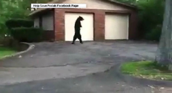 Huge uproar after bizarre walking bear dies suddenly