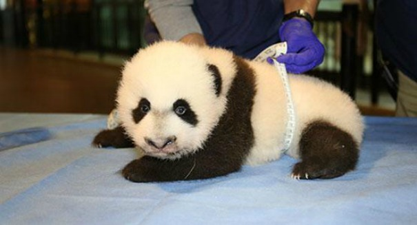 National Zoo panda cub suddenly rushed into emergency surgery