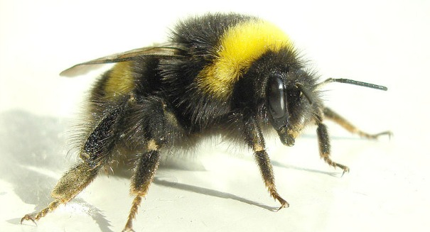 Global warming is threatening the lives of bumblebees
