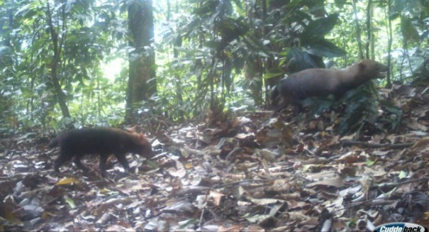 Breakthrough: Mysterious 'bush dog' caught on automated camera in Panama