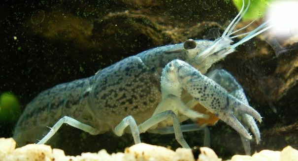 Mutant crayfish alarms experts around the world