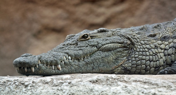 You will not believe what scientists are doing with crocodiles