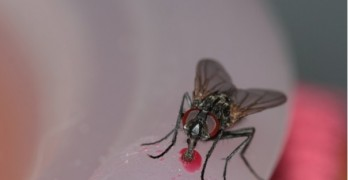 House fly discovery shocks scientists