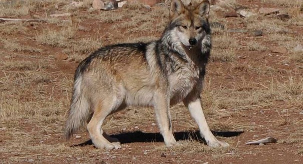 Scientists discover a shocking fact about the gray wolf