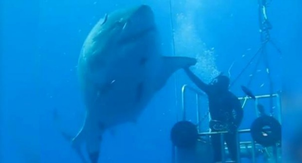 Giant great white high five caught on film – [Video]