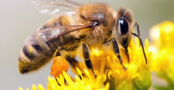 Bees are getting wiped out worldwide … for a surprising reason