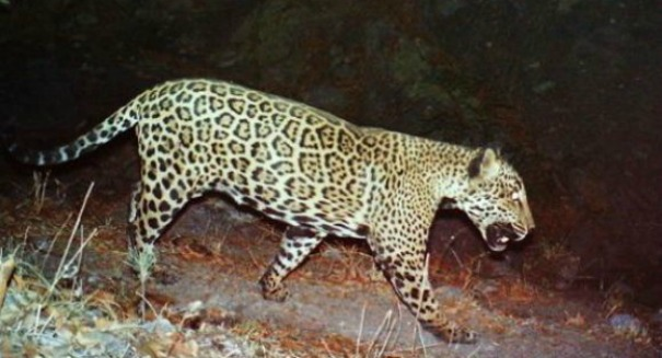 WATCH: Astonishing video emerges of the last jaguar in the United States [Video]