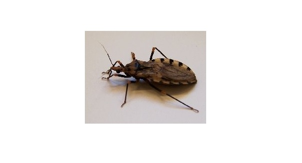 Authorities shocked by major 'kissing bug' discovery