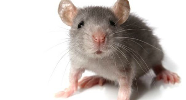 Researchers create cyborg mice that could change science