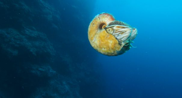 Biologist makes amazing find: Super-rare Nautilus that hasn't been seen in 30 years