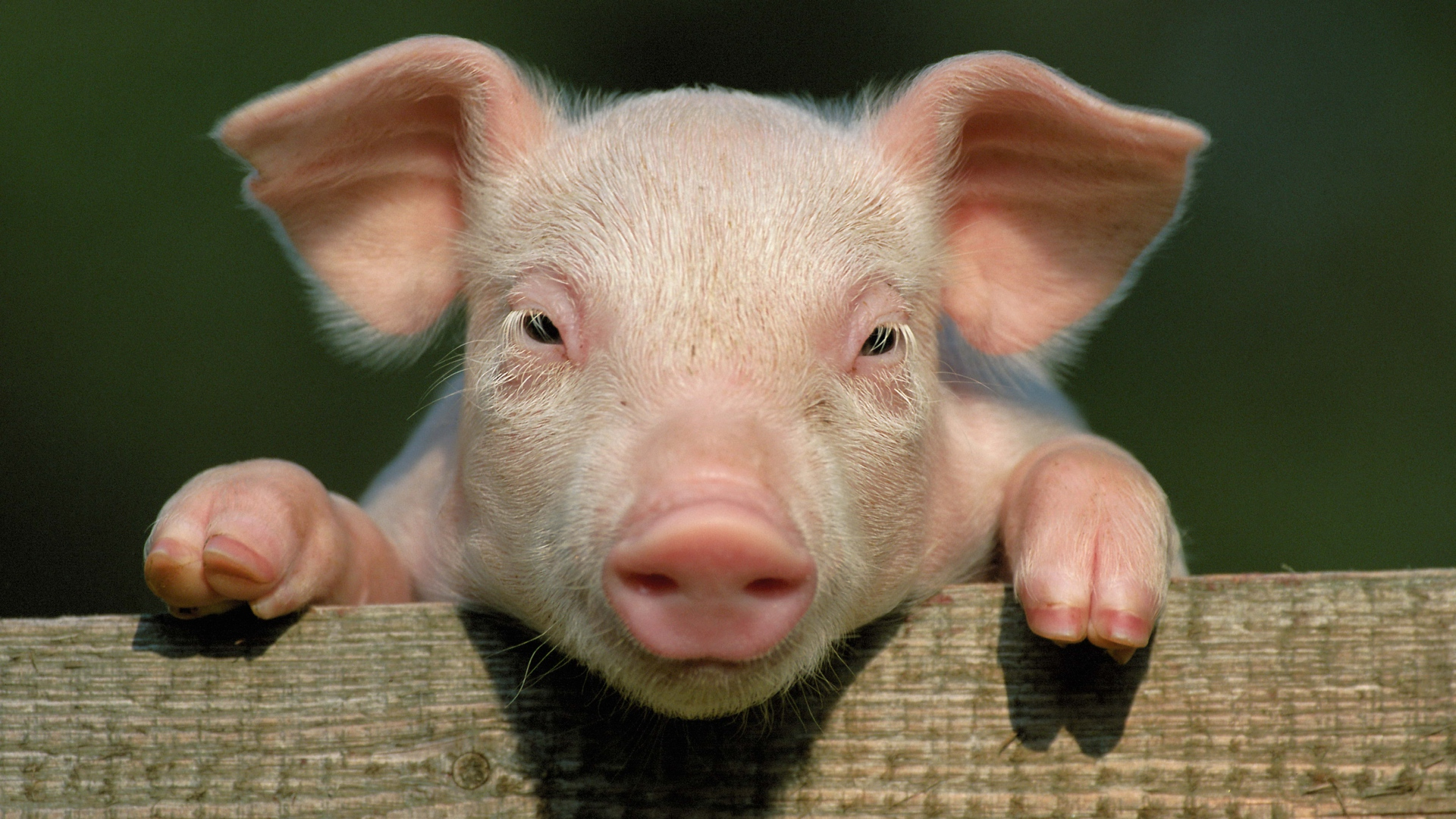 Pig organs could be used as human transplants soon