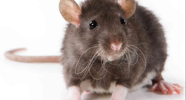 Rat emergency reported in two states
