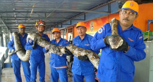 Scientists stunned to find largest ever Python in Malaysia