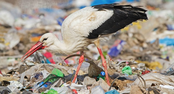 Lazy storks are just sitting around eating trash