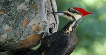 Scientists shocked by massive discovery about woodpeckers
