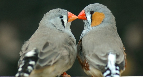 Scientists stunned by Zebra finch discovery