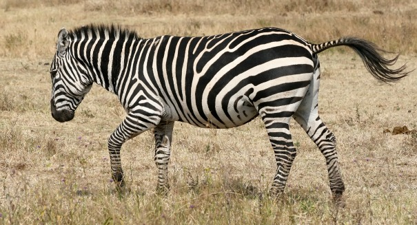 Scientists shocked to discover the truth about Zebra stripes
